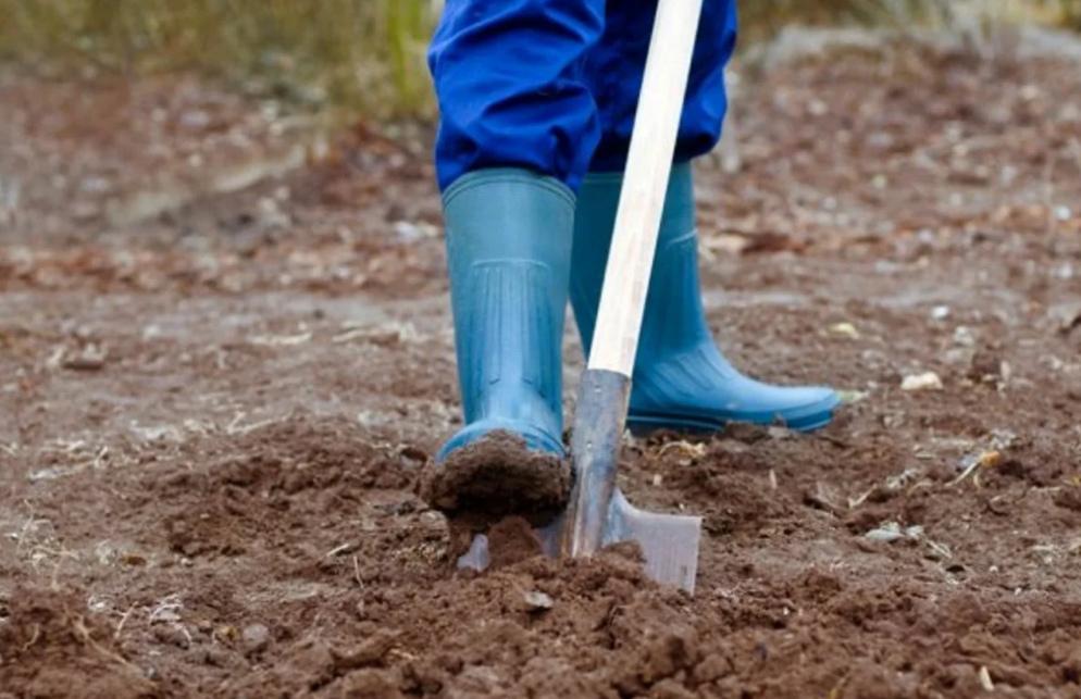 Пересадка арбуза в открытую почву