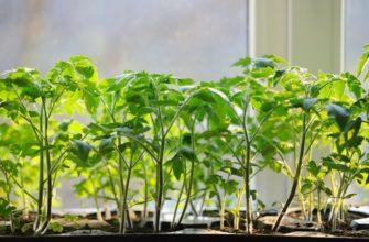 Народные способы для рассады помидор