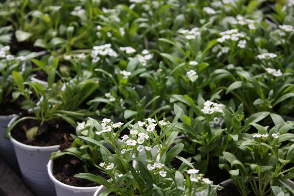 алиссум выращивание
