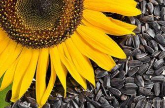Состав и полезные свойства семечек для организма