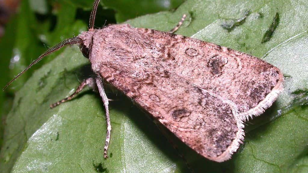 Вредители инжира серая бабочка