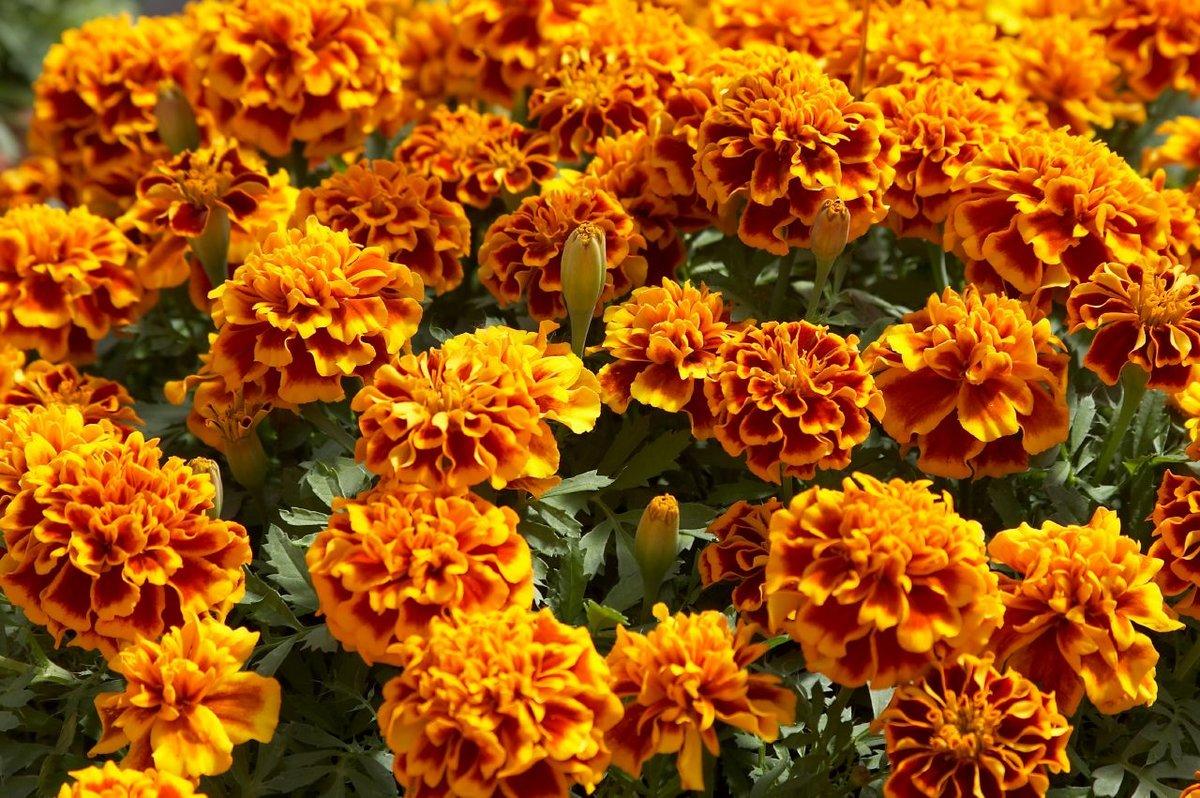 бархатцы цветение