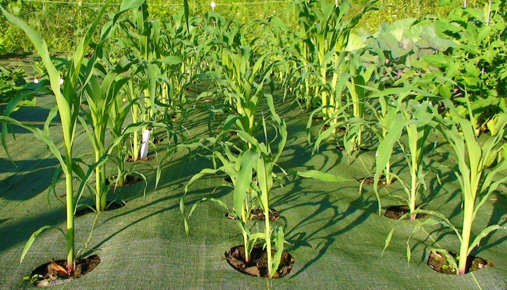 кукуруза растение