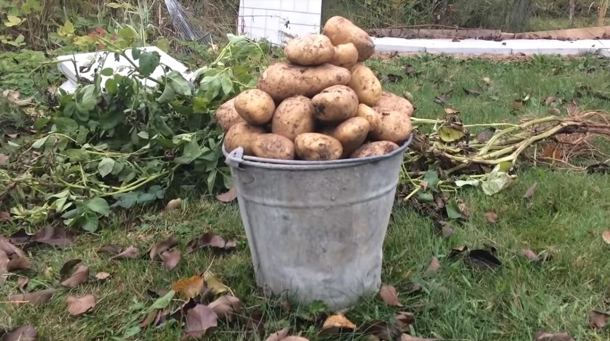 Оздоравливал свою картошку