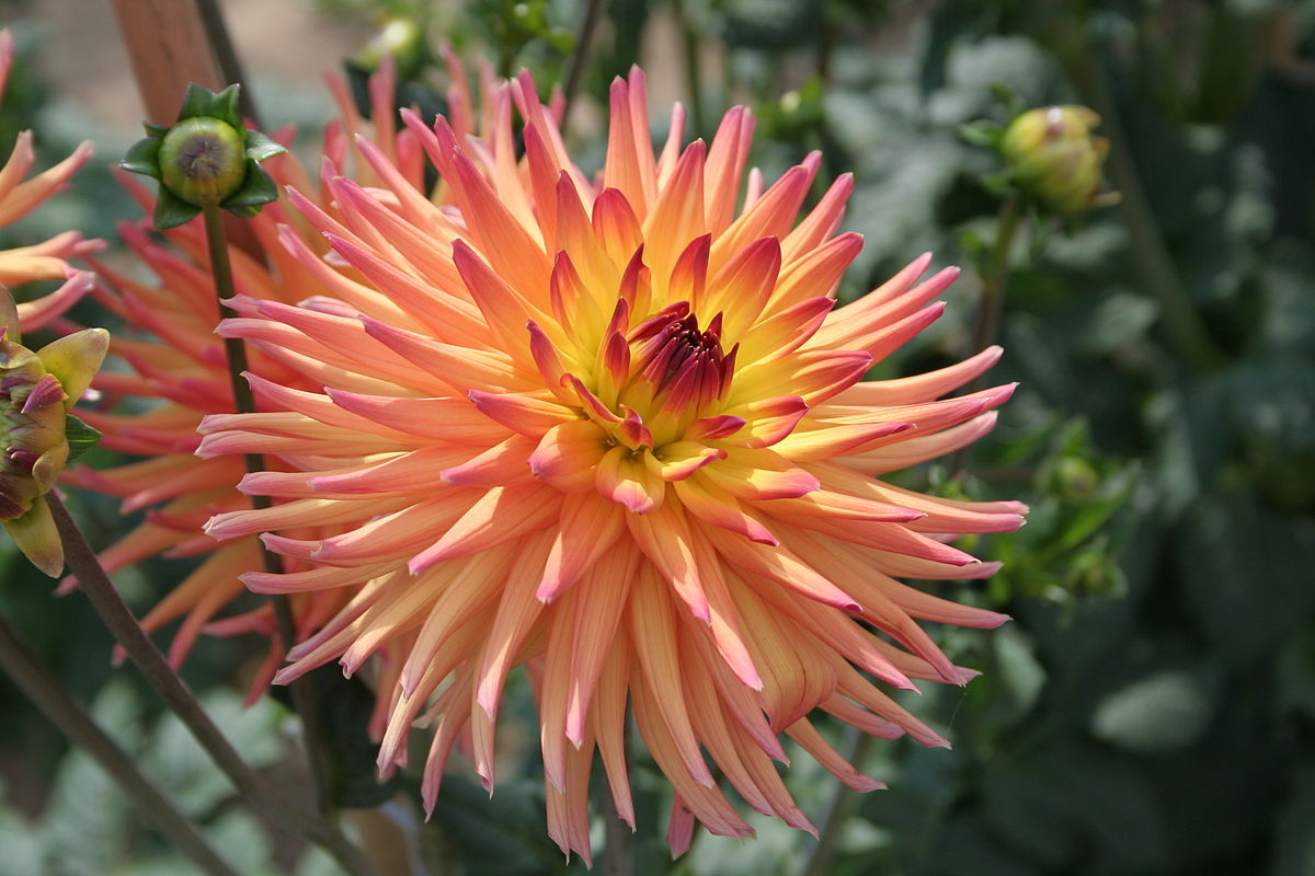 Кактусовые георгины Dahlia Cactus-flowered