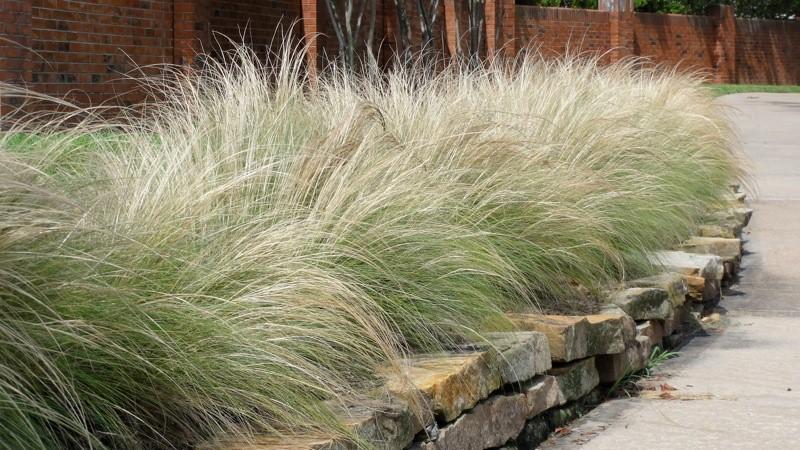 Ковыль трава в ландшафтном дизайне
