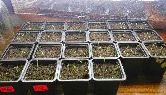 5 ошибок при посадке семян помидоров