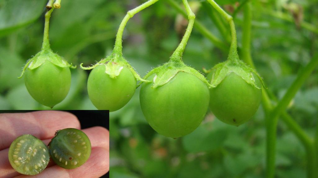 плод картофеля