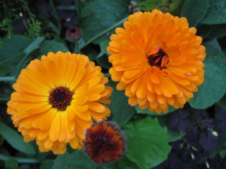 Ноготки цветы