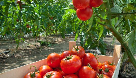 Три надежных томата для дачи