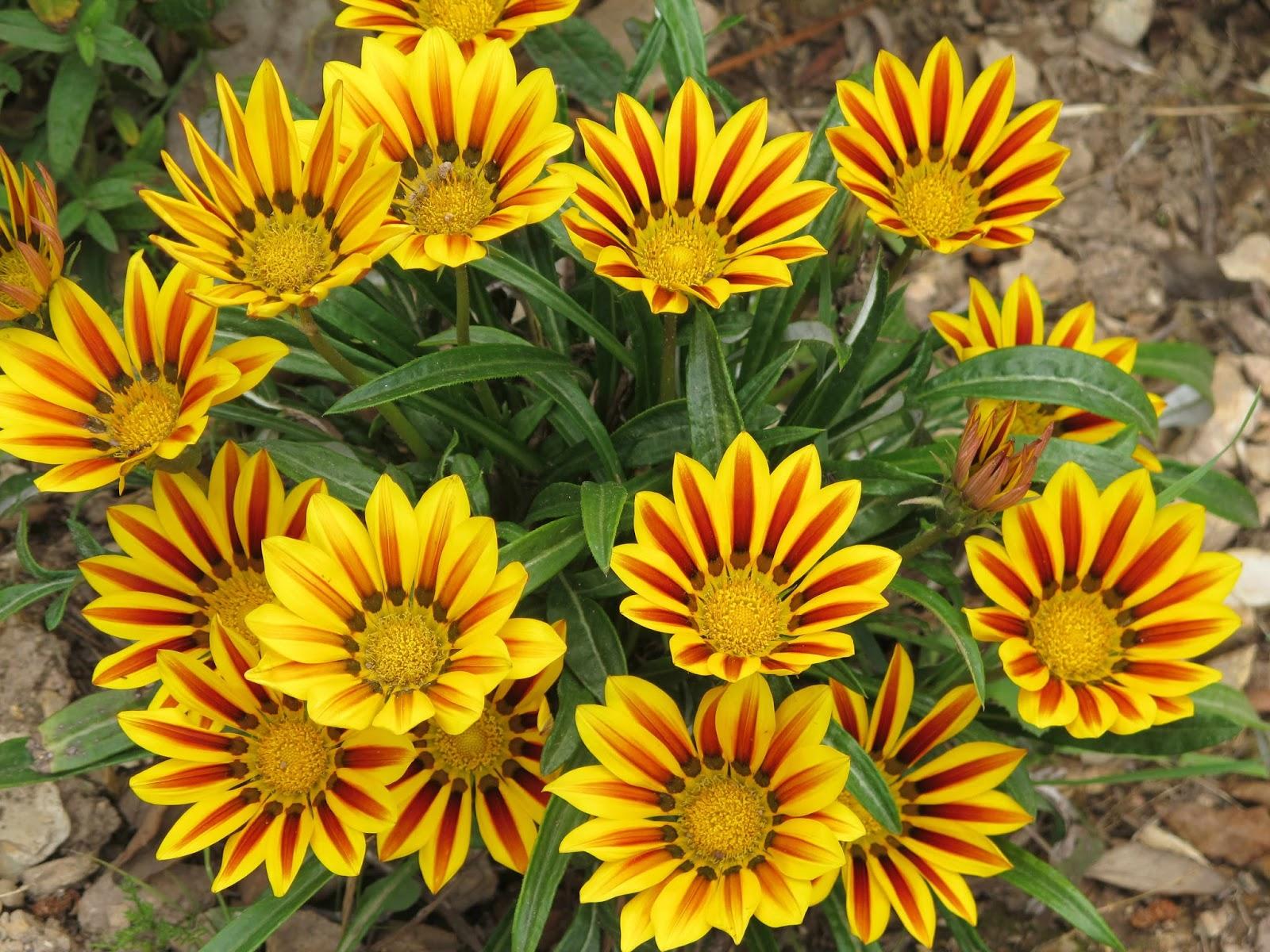 Гацания одноцветковая