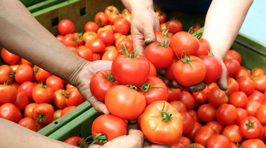 Стресс своей рассаде помидор – и урожай утроится
