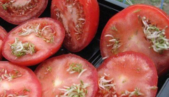 Семена с маркировкой F1 – это ГМО или нет