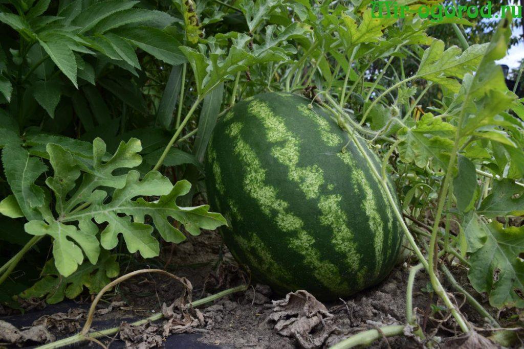 Рассадный метод выращивания арбузов