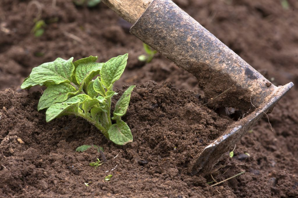 Перечень растений, которые не окучиваются