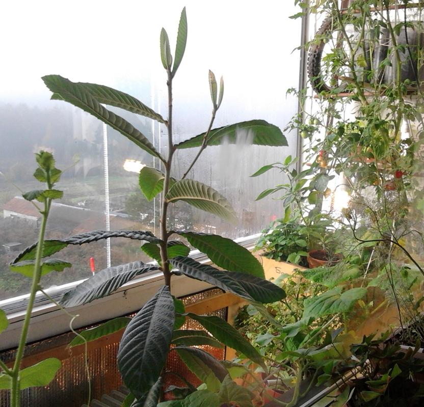 Мушмула на балконе