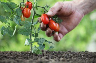 Посадка низкорослых помидоров