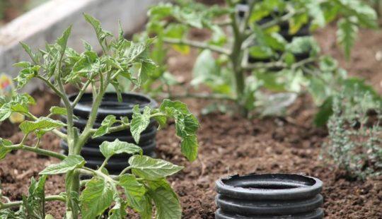Нестандартный способ полива томатов