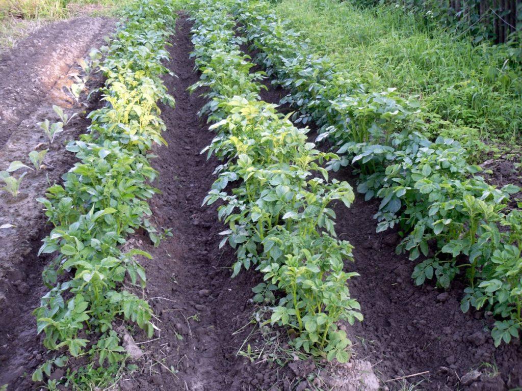 огород картофель