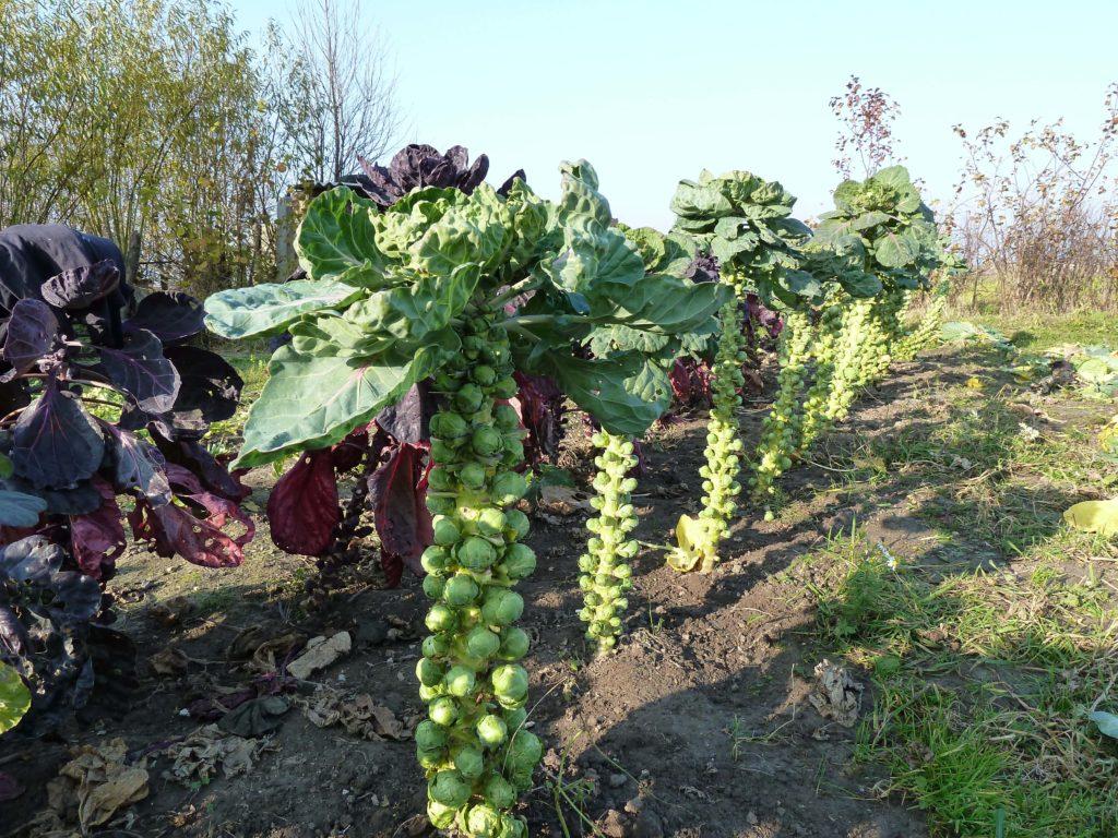 брюссельская капуста выращивание