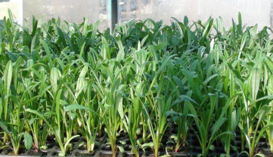 Гацания посев семян на рассаду хитрости