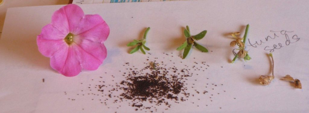 семена петунии