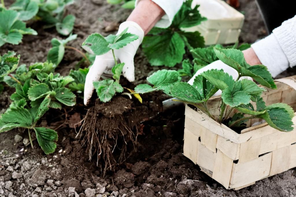 Увеличить урожай клубники
