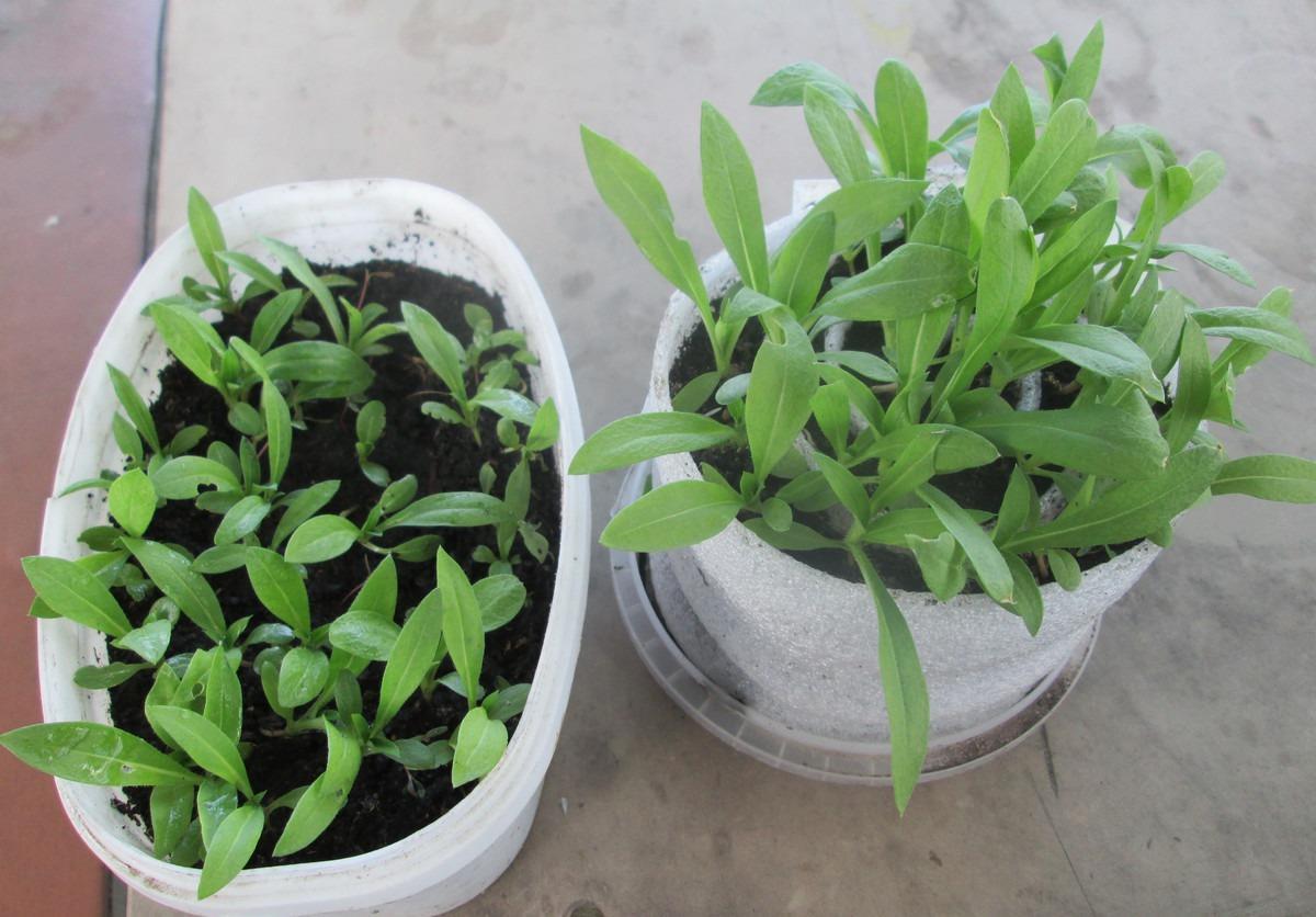 Выращивание флокса Друммонда из семян и рассады в открытом грунте