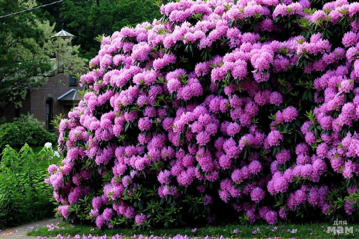 какое-либо требований цветущие кустарники для дачи в подмосковье фото час раздумий наших