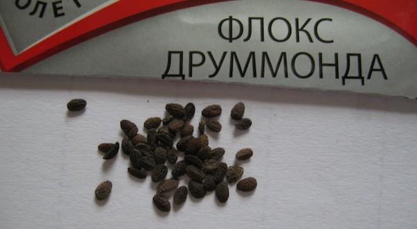 Флокс семенами посадка