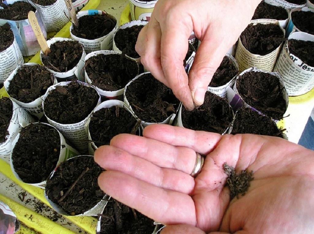 Сажать цветную капусту