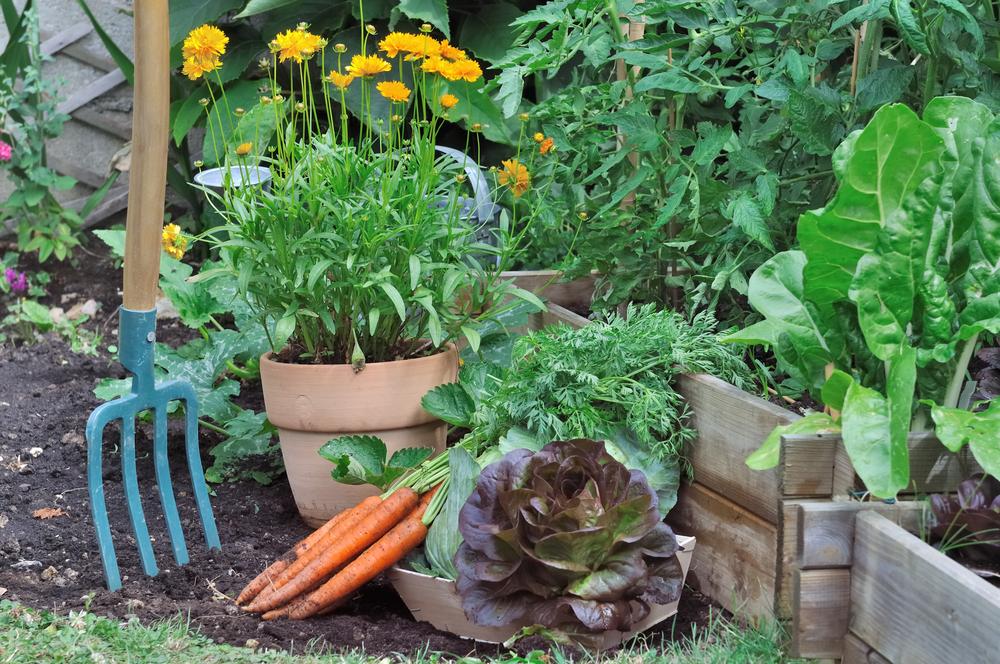 На наших грядках овощи росли очень быстро