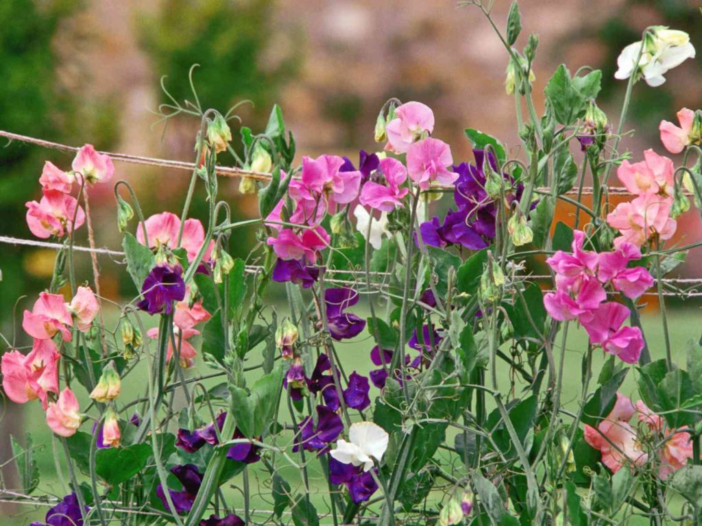 душистый горошек цветы