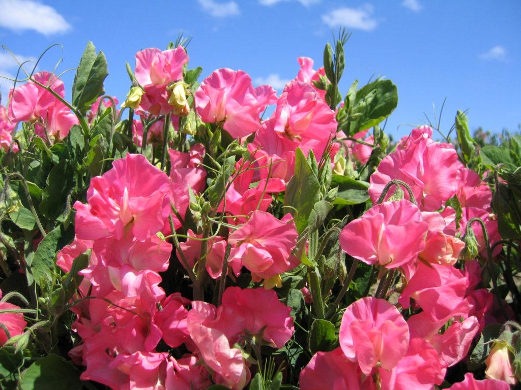 цветы махровые