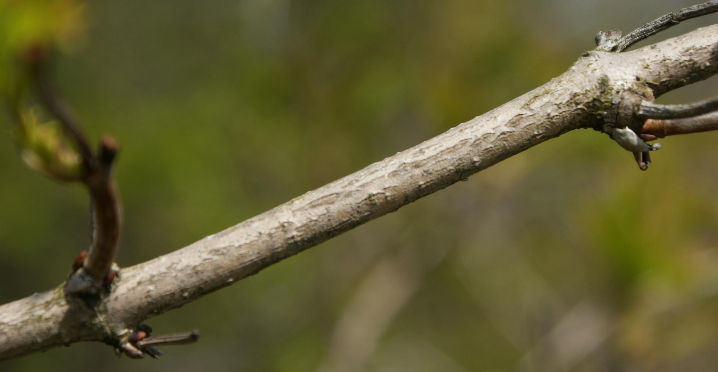 кора калины