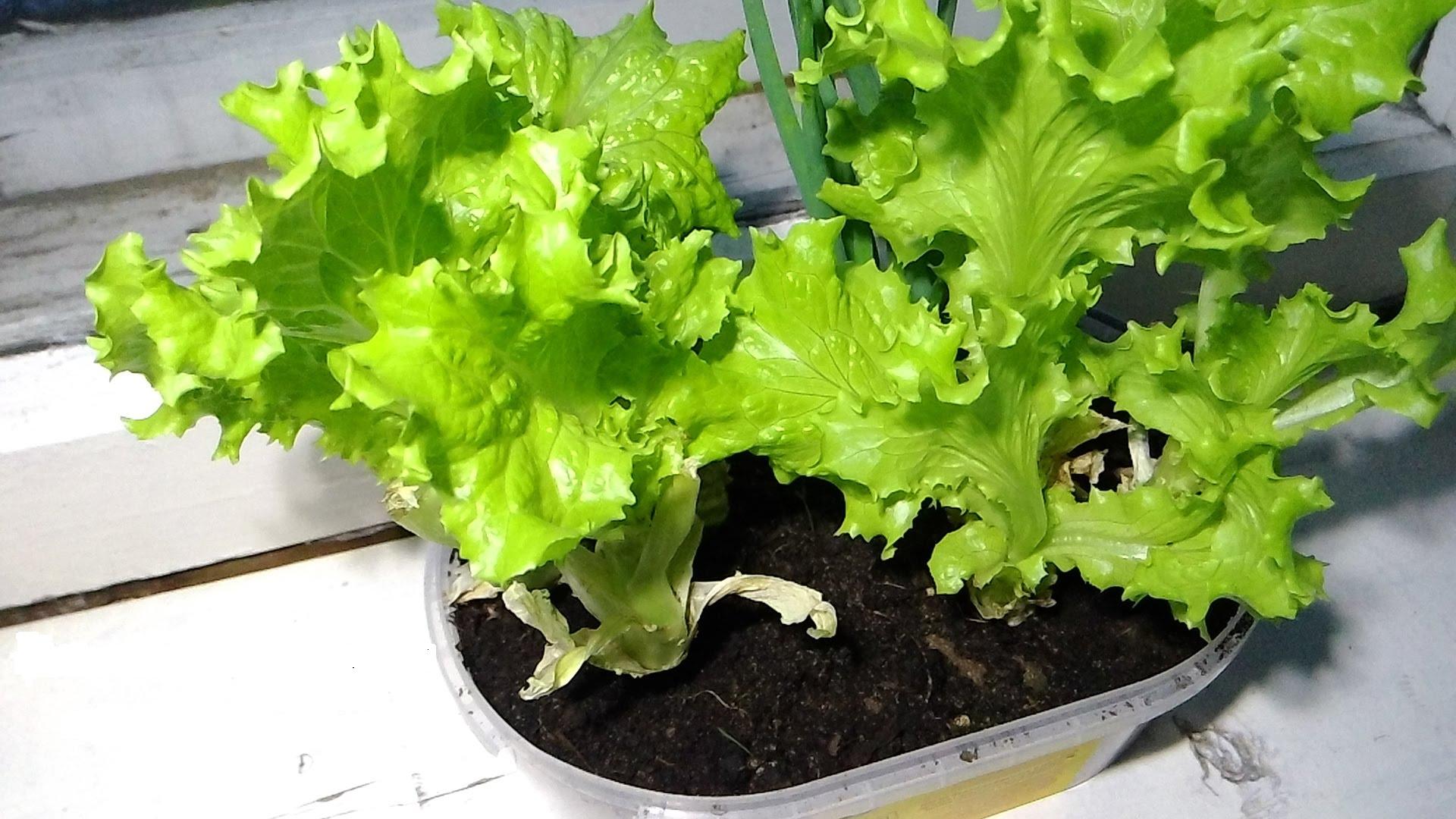 когда сеять салат на рассаду