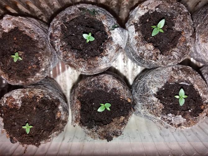 Эустомы семенами в торфяные таблетки