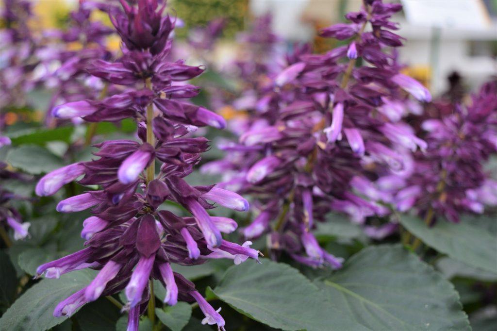 цветы сальвия