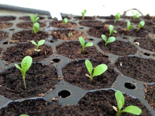 посадка гравилата семенами на рассаду