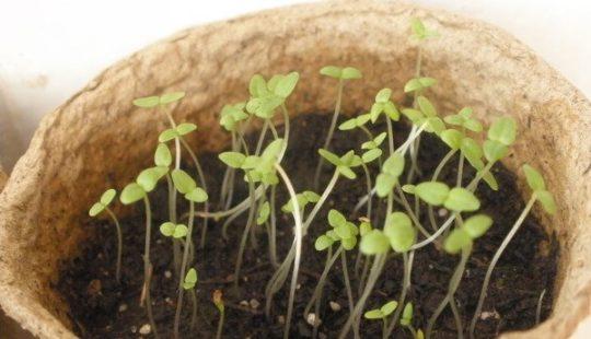 Посев колокольчика карпатского на рассаду