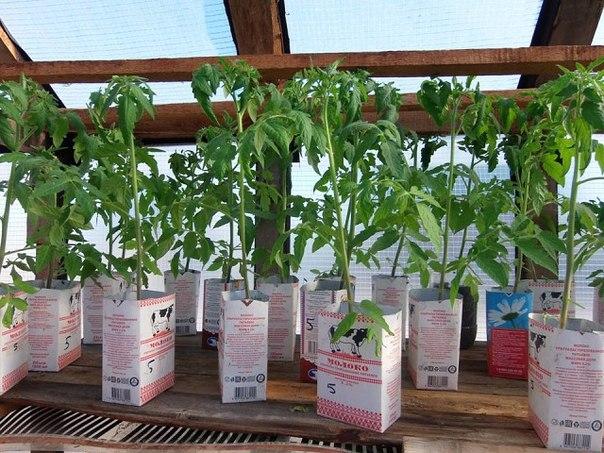 Рассада помидор в полиэтиленовых пакетах