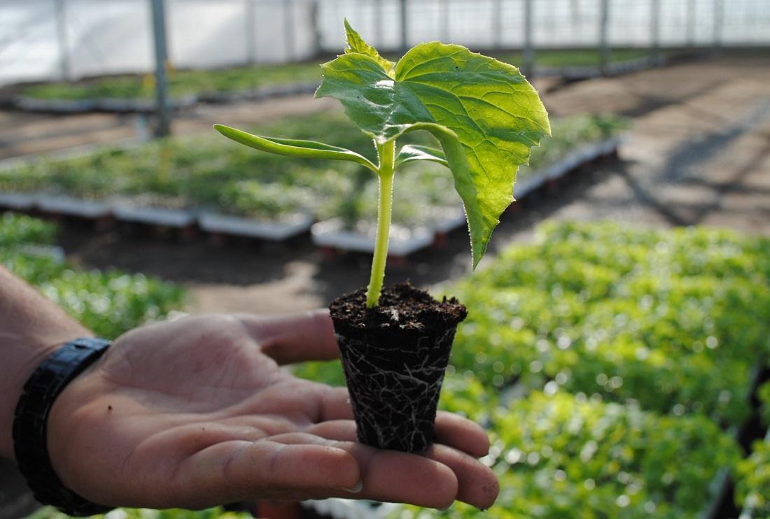 Выращивания огурцов рассадой
