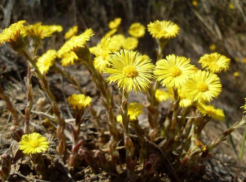 Цветки у камчужной травы