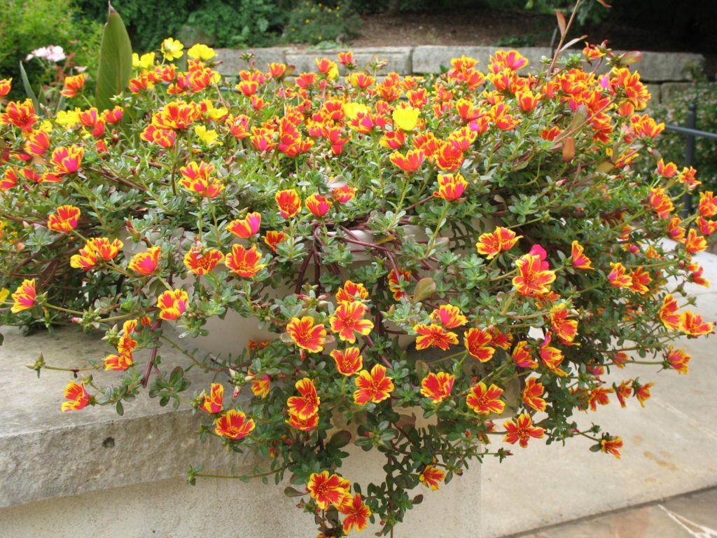 портулак цветы