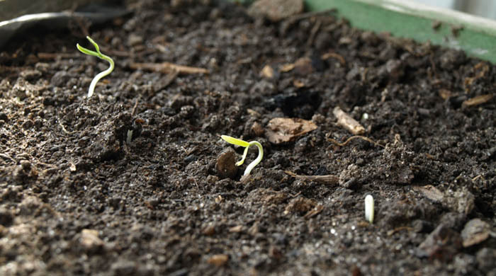 Не прорастают семена