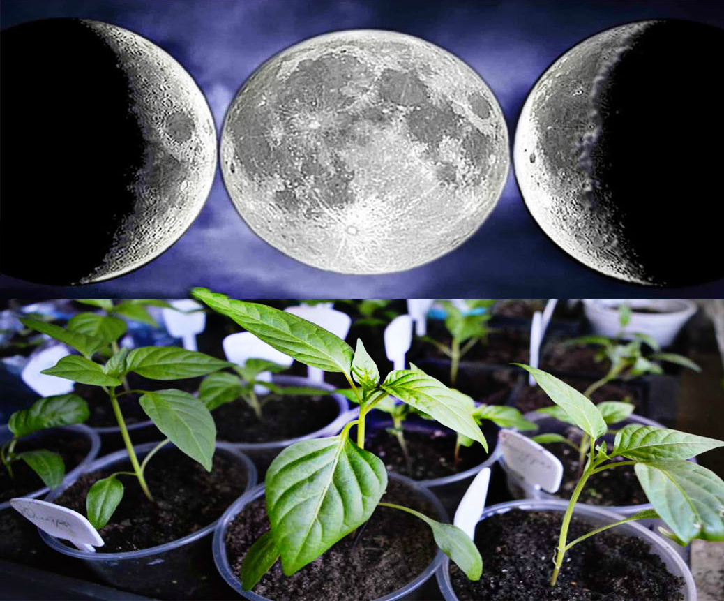 Фазы луны для посадки семян