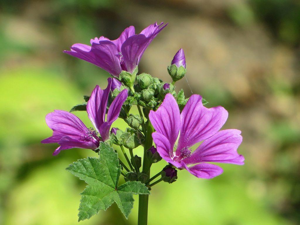 мальва многолетняя посадка семенами весной на рассаду