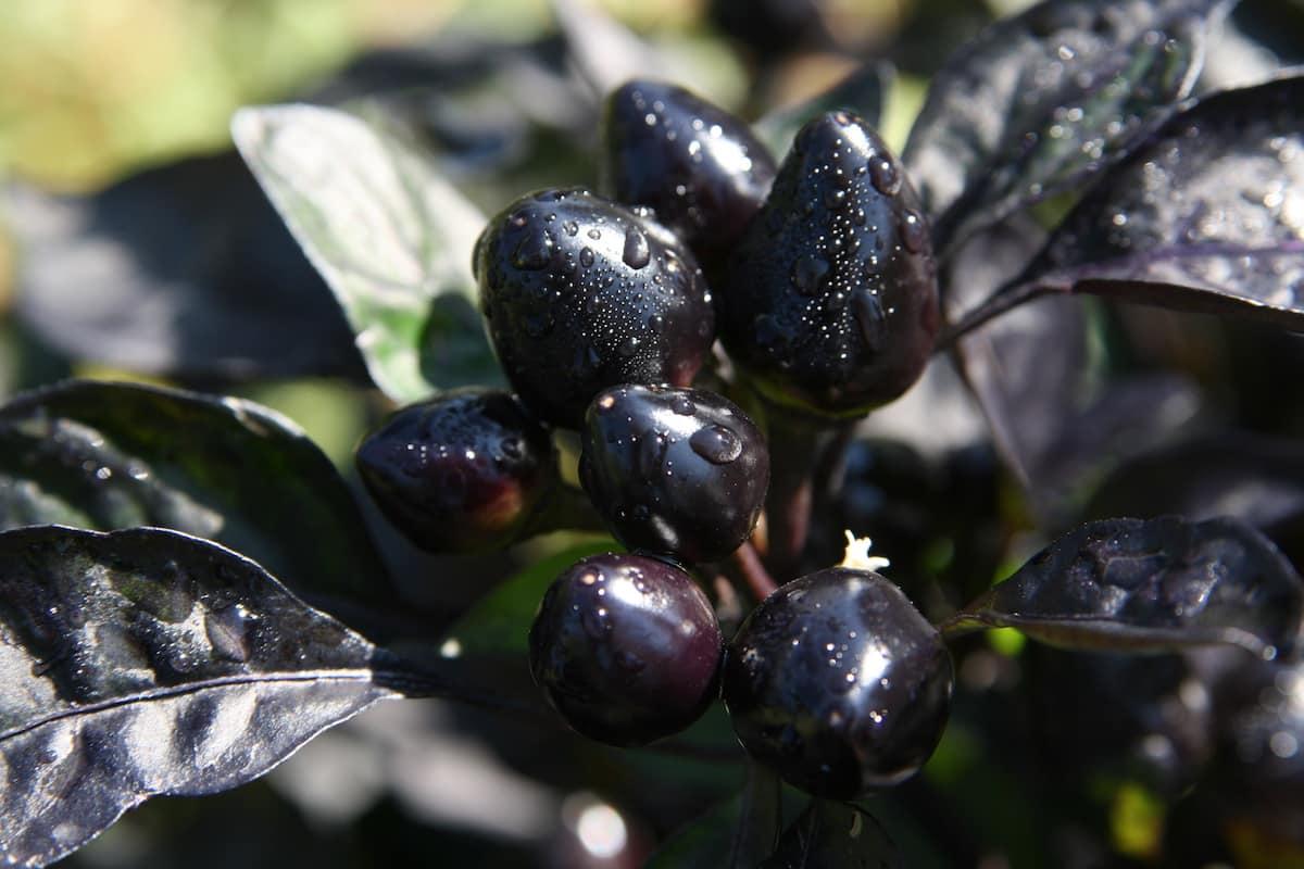 Перец острый черная Жемчужина
