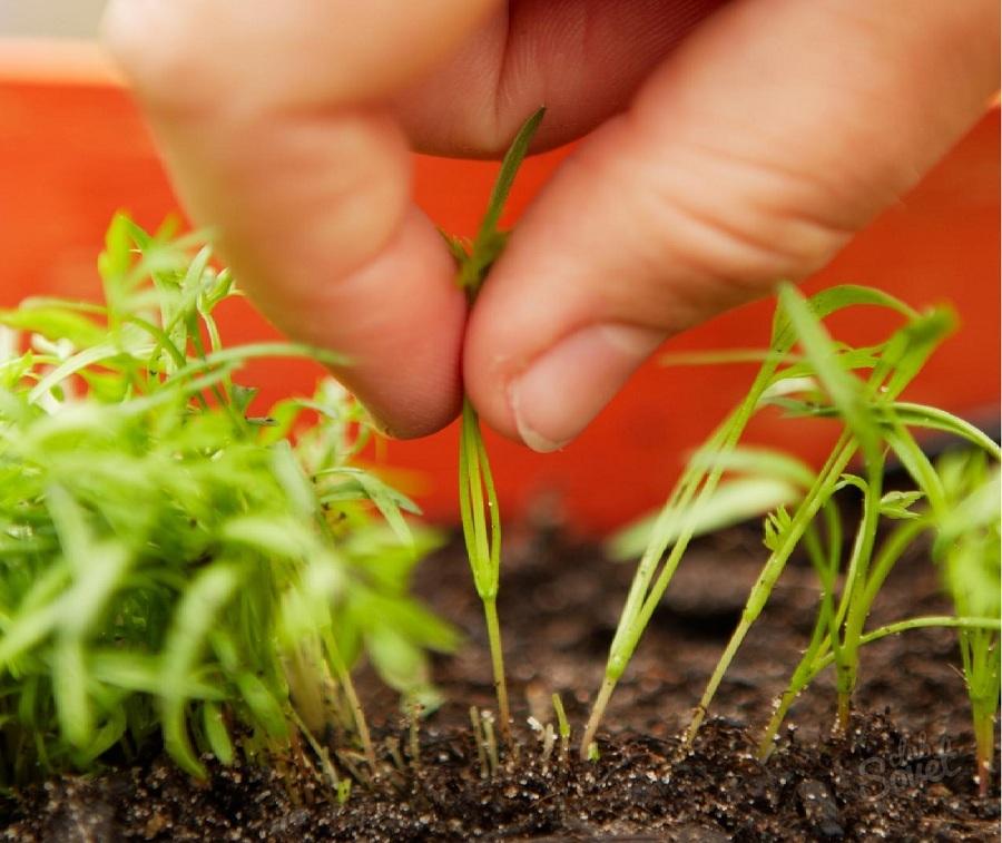 Сеять семена моркови