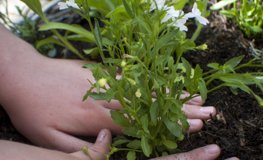 Лобелия пересадка в сад
